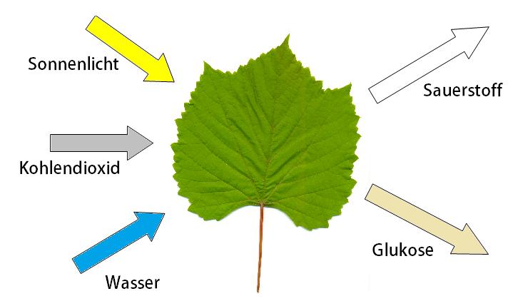 Fotosynthese - Erklärung + Formel