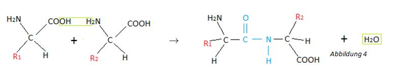 Reaktion der Peptidbindung